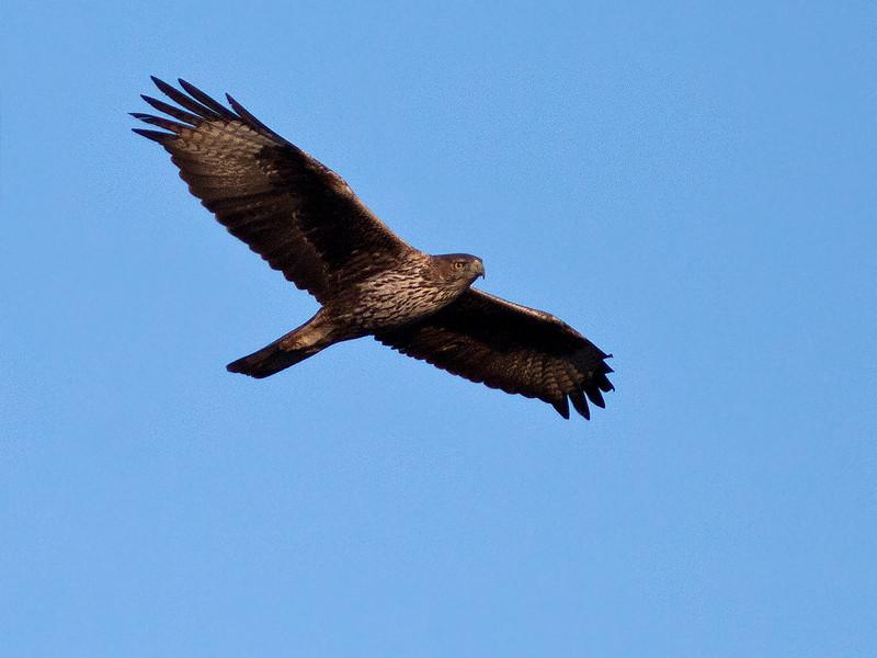 Haukørn / Bonelli's Eagle <br /> Tawi Atayr, Oman 01.12.2010<br /> Canon EOS 50D + EF 400 mm 5.6 L