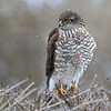 Spurvehauk / Sparrow Hawk<br /> Linnesstranda, Lier 15.2.2015<br /> Canon 7D Mark II + Tamron 150 - 600 mm 5,0 - 6,3  @ 428 mm