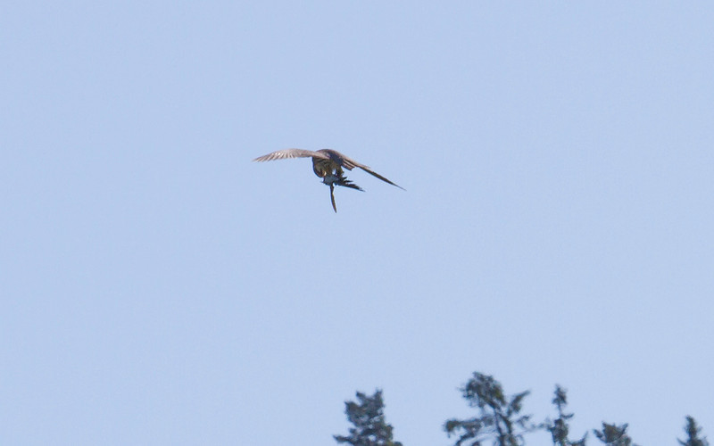 Lerkefalk / Eurasian Hobby <br /> Linnesstranda, Lier 2.6.2012<br /> Canon EOS 7D + EF 100-400 mm 4,5 - 5,6 L