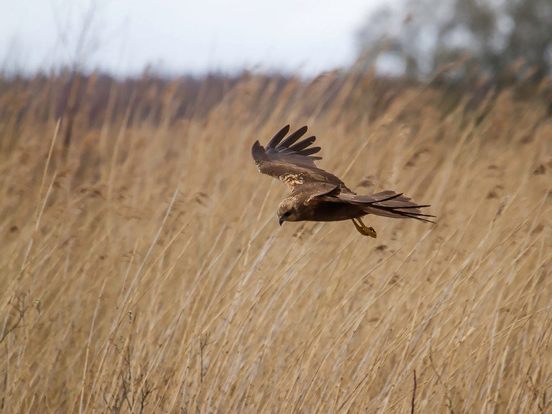 Sivhauk / Western Marsh-Harrier<br /> Lille Vildemose, Danmark 14.4.2014<br /> Canon EOS 7D + EF 100-400 mm 4,5-5,6 L