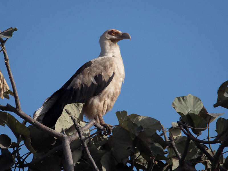 Palmegribb / Palm-nut Vulture<br /> Kuntaur - Jajanbureh, Gambia 2.2.2016<br /> Canon 7D Mark II + Tamron 150-600 mm 5,0-6.3
