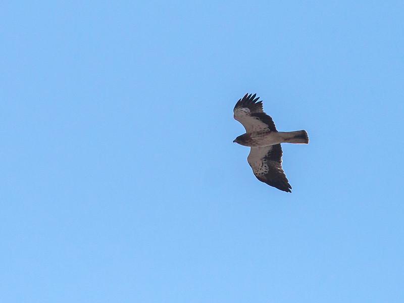 Dvergørn / Booted Eagle <br /> Ras As Sawadi, Oman 22.11.2010<br /> Canon EOS 50D + EF 400 mm 5.6 L