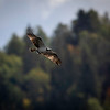 Fiskeørn / Osprey<br /> Linnesstranda, Lier 6.9.2020<br /> Canon  5D Mark IV + EF 500mm f/4L IS II USM + 1.4x Ext