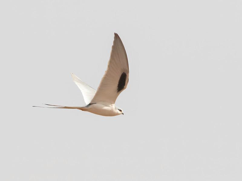 Sakseglente / African Swallow-tailed Kite<br /> Kaolack, Senegal 31.1.2016<br /> Canon 7D Mark II + Tamron 150 - 600 mm 5,0 - 6,3