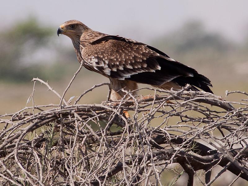 Steppeørn / Steppe Eagle <br /> Khawr Taqah, Oman 30.11.2010<br /> Canon EOS 50D + EF 400 mm 5.6 L