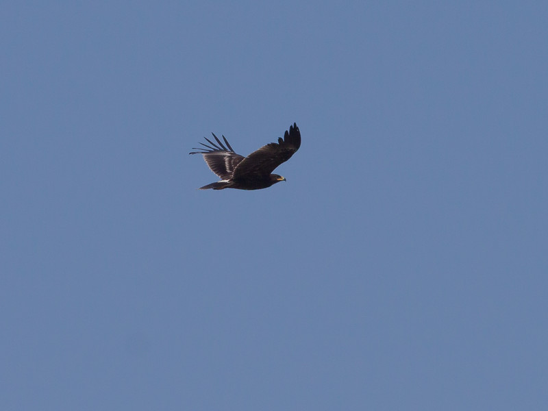 Storskrikeørn / Greater Spotted Eagle <br /> Salalah, Oman 03.12.2010<br /> Canon EOS 50D + EF 400 mm 5.6 L