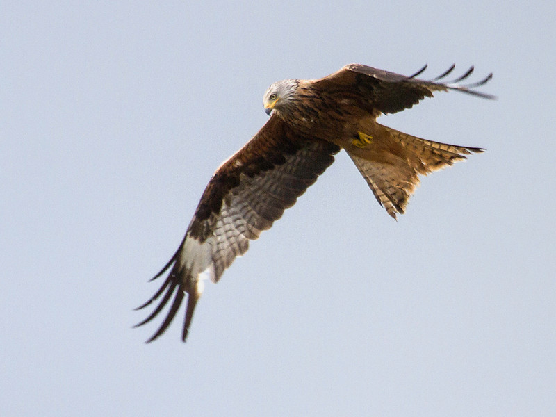 Glente / Red Kite<br /> Vombs engar, Sverige 22.7.2013<br /> Canon EOS 7D + EF 100-400 mm 4,5-5,6 L