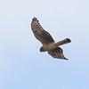 Myrhauk / Hen Harrier<br /> Linnesstranda, Lier 28.9.2013<br /> Canon EOS 7D + EF 100-400 mm 4,5-5,6 L