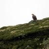 Havørn / White-tailed Eagle <br /> Unndalsvatnet, Sør-Trøndelag 6.7.2015<br /> Canon 7D Mark II + Tamron 150 - 600 mm 5,0 - 6,3