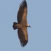 Gåsegribb / Eurasian Griffon Vulture<br /> Jajanbureh - Tendaba, Gambia 3.2.2016<br /> Canon 7D Mark II + Tamron 150 - 600 mm 5,0 - 6,3