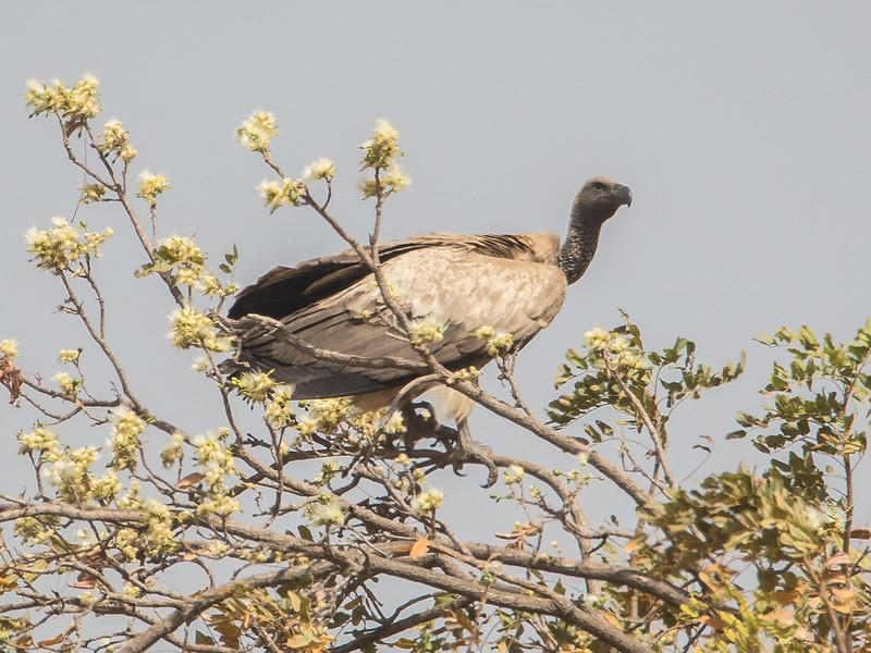 Hvitryggribb / African White-backed Vulture<br /> Jajanbureh - Tendaba, Gambia 3.2.2016<br /> Canon 7D Mark II + Tamron 150 - 600 mm 5,0 - 6,3