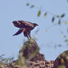 Storskrikeørn / Greater Spotted Eagle <br /> Khawr Rawri, Oman 01.12.2010<br /> Canon EOS 50D + EF 400 mm 5.6 L