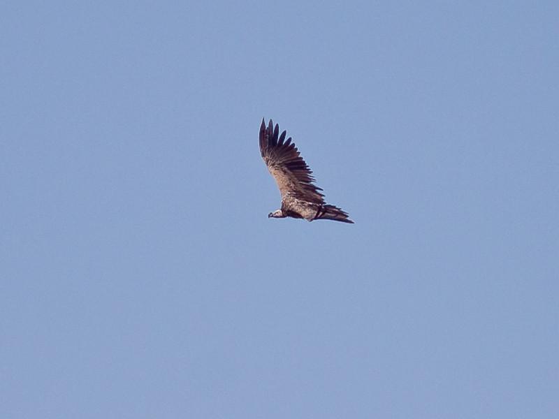 Øregribb / Lappet-faced Vulture <br /> Tawi Atayr, Oman 01.12.2010<br /> Canon EOS 50D + EF 400 mm 5.6 L