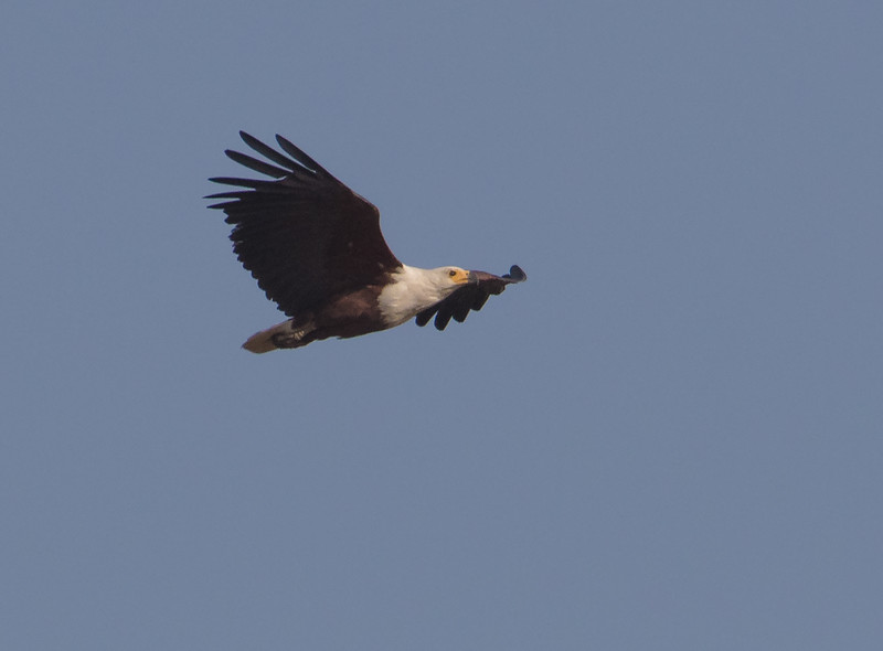 Flodørn / African Fish Eagle<br /> Rikhaly Rice Fields, Gambia 3.2.2016<br /> Canon 7D Mark II + Tamron 150 - 600 mm 5,0 - 6,3