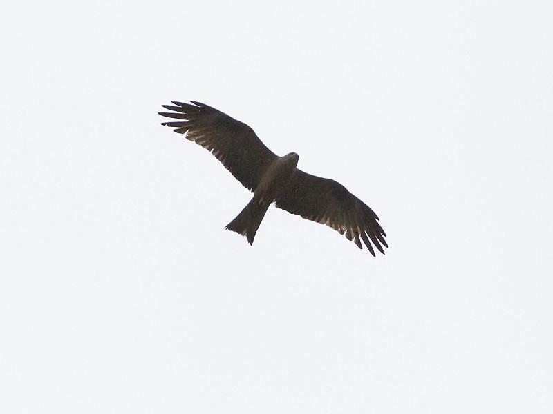 Svartglente / Black Kite <br /> Lötscher, Sveits 9.7.2005<br /> Canon EOS 20D + EF200 mm 2,8 L + Extender 1,4 x