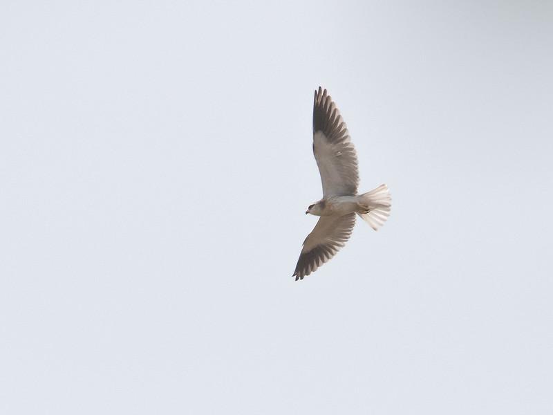 Svartvingeglente / Black-shouldered Kite<br /> Tujereng, Gambia 28.1.2016<br /> Canon 7D Mark II + Tamron 150 - 600 mm 5,0 - 6,3