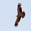 Keiserørn / Imperial Eagle <br /> Muscat, Oman 21.11.2010<br /> Canon EOS 50D + EF 400 mm 5.6 L