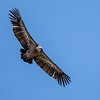 Gåsegribb / Eurasian Griffon Vulture