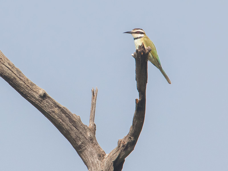Sebrabieter / White-throated Bee-eater<br /> Tendaba, Gambia 4.2.2016<br /> Canon 7D Mark II + Tamron 150 - 600 mm 5,0 - 6,3
