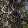 Terneisfugl / PIed Kingfisher<br /> Kuntaur-Jajanbureh, Gambia 2.2.2016<br /> Canon 7D Mark II + Tamron 150 - 600 mm 5,0 - 6,3