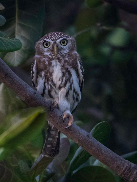 Savanneugle / Perl-spotted Owlet<br /> Footsteps Lodge, Gambia 24.1.2016<br /> Canon 7D Mark II + Tamron 150 - 600 mm 5,0 - 6,3