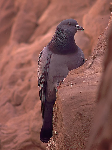 Klippedue / Rock Dove <br /> Eilat, Israel 29.2.2000<br /> Nikon Nikkorrmat FTn + Vivitar 400 mm 5,6