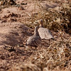 Prikksandhøne / Spotted Sandgrouse <br /> Al Beed Farm, Oman 29.11.2010<br /> Canon EOS 50D + EF 400 mm 5.6 L