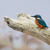 Isfugl / Common Kingfisher<br /> Linnesstranda, Lier 27.9.2020<br /> Canon  5D Mark IV + EF 500mm f/4L IS II USM + 1.4x Ext
