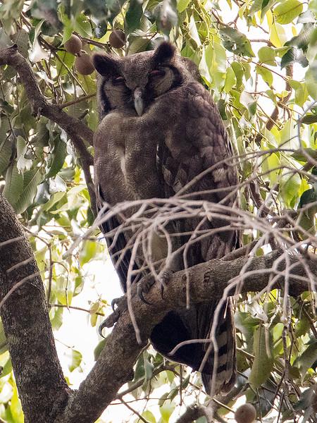 Gråhubro / Verraux's Eagle Owl<br /> Brufut, Gambia 26.1.2016<br /> Canon 7D Mark II + Tamron 150 - 600 mm 5,0 - 6,3