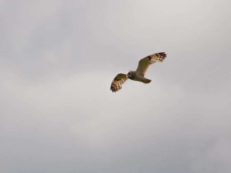 Jordugle / Short-eared Owl <br /> Andøya, Nordland 16.7.2006<br /> Canon EOS 20D + EF 400 mm 5,6 L