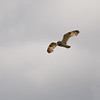 Jordugle / Short-eared Owl <br /> Andøya, Nordland 16.7.2006<br /> Canon EOS 20D + EF 400 mm 5,6 L