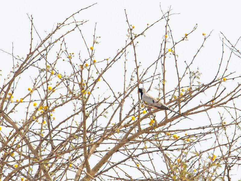 Maskedue / Namaqua Dove <br /> Kaurr-Jajanbureh, Gambia 1.2.2016<br /> Canon 7D Mark II + Tamron 150 - 600 mm 5,0 - 6,3