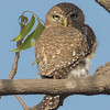 Savanneugle / Perl-spotted Owlet<br /> Rikhaly Rice Fields, Gambia 3.2.2016<br /> Canon 7D Mark II + Tamron 150 - 600 mm 5,0 - 6,3