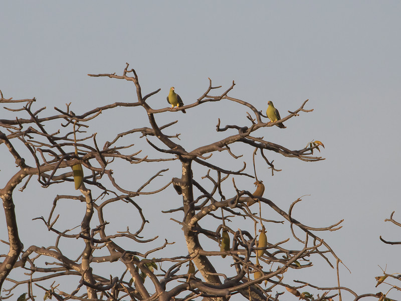 Afrikagrønndue / African Green Pigeon<br /> Footsteps Lodge, Gambia 24.1.2016<br /> Canon 7D Mark II + Tamron 150 - 600 mm 5,0 - 6,3