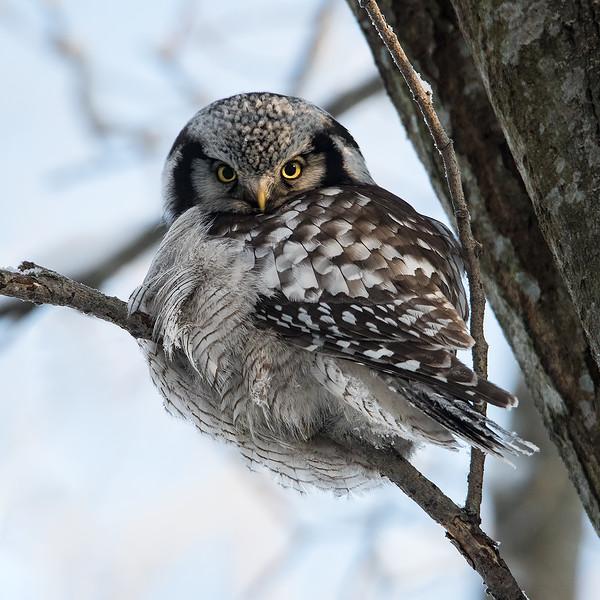 Haukugle / Hawk Owl<br /> Linnesstranda, Lier 17.1.2016<br /> Canon 7D Mark II + Tamron 150 - 600 mm 5,0 - 6,3