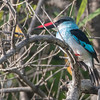 Blåbrystisfugl / Blue-breasted KIngfisher<br /> Tendaba, Gambia 4.2.2016<br /> Canon 7D Mark II + Tamron 150 - 600 mm 5,0 - 6,3