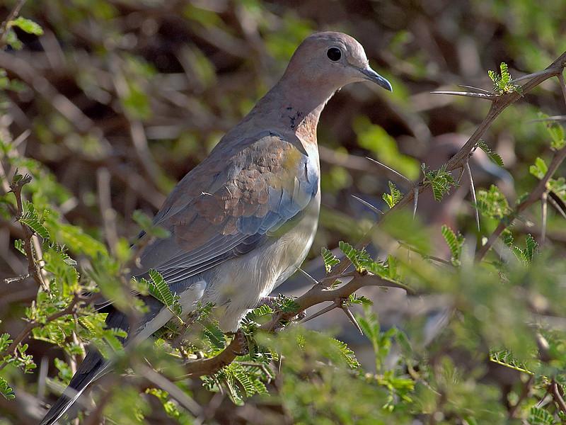 Palmedue / Laughing Dove <br /> Tawi Atayr, Oman 01.12.2010<br /> Canon EOS 50D + EF 400 mm 5.6 L