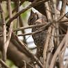Akasieugle / African Scops Owl<br /> Brufut Woods, Gambia 26.1.2016<br /> Canon Mark II + Tamron 150 - 600 mm 5,0 - 6,3
