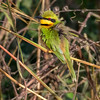 Dvergbieter / Little Bee-Eater<br /> Footsteps, Gambia 24.1.2016<br /> Canon 7D Mark II + Tamron 150 - 600 mm 5,0 - 6,3