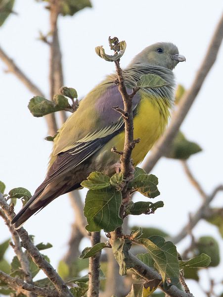 Gulbukgrønndue / Bruce's Green Pigeon <br /> Jajanbureh, Gambia 3.2.2016<br /> Canon 7D Mark II + Tamron 150 - 600 mm 5,0 - 6,3