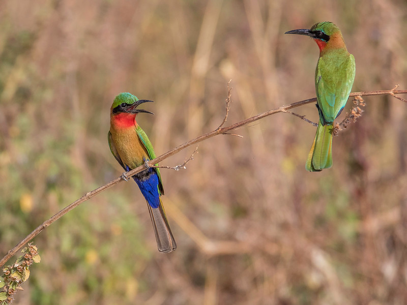 Rødstrupebieter / Red-throated Bee-eater<br /> Wassu, Gambia 1.2.2016<br /> Canon 7D Mark II + Tamron 150 - 600 mm 5,0 - 6,3