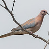 Palmedue / Laughing Dove <br /> Kaurr, Gambia 1.2.2016<br /> Canon 7D Mark II + Tamron 150 - 600 mm 5,0 - 6,3
