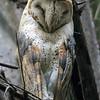 Tårnugle / Barn Owl<br /> Farasuto Woods, Gambia 27.1.2016<br /> Canon 7D Mark II + Tamron 150 - 600 mm 5,0 - 6,3
