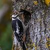 Flaggspett / Great Spotted Woodpecker<br /> Kilsviken, Sverige 26.7.2020<br /> Canon EOS R5 + EF 500mm f/4L IS II USM + 1.4x Ext