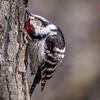 Dvergspett / Lesser Spotted Woodpecker <br /> Linnesstranda, Lier 22.4.2006<br /> Canon EOS 20D + EF 200 mm 2,8 L + Extender 1,4 x