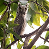 Hvitfjesugle / Northern White-faced Owl<br /> Pirang, Gambia 27.1.2016<br /> Canon 7D Mark II + Tamron 150 - 600 mm 5,0 - 6,3 @ 483 mm