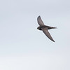 Tårnseiler / Common Swift <br /> Linnesstranda, Lier 21.6.2014<br /> Canon EOS 5D Mark II + EF 100-400 mm 4,5-5,6 L