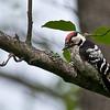 Dvergspett / Lesser Spotted Woodpecker <br /> Linnesstranda, Lier 12.5.2007<br /> Canon EOS 20D