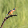 Tiaraisfugl /Malachite KIngfisher<br /> Abuko, Gambia 5.2.2016<br /> Canon 7D Mark II + Tamron 150 - 600 mm 5,0 - 6,3