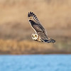 Jordugle / Short-eared Owl<br /> Asaa havn, Danmark 26.3.2016<br /> Canon 7D Mark II + Tamron 150 - 600 mm 5,0 - 6.3